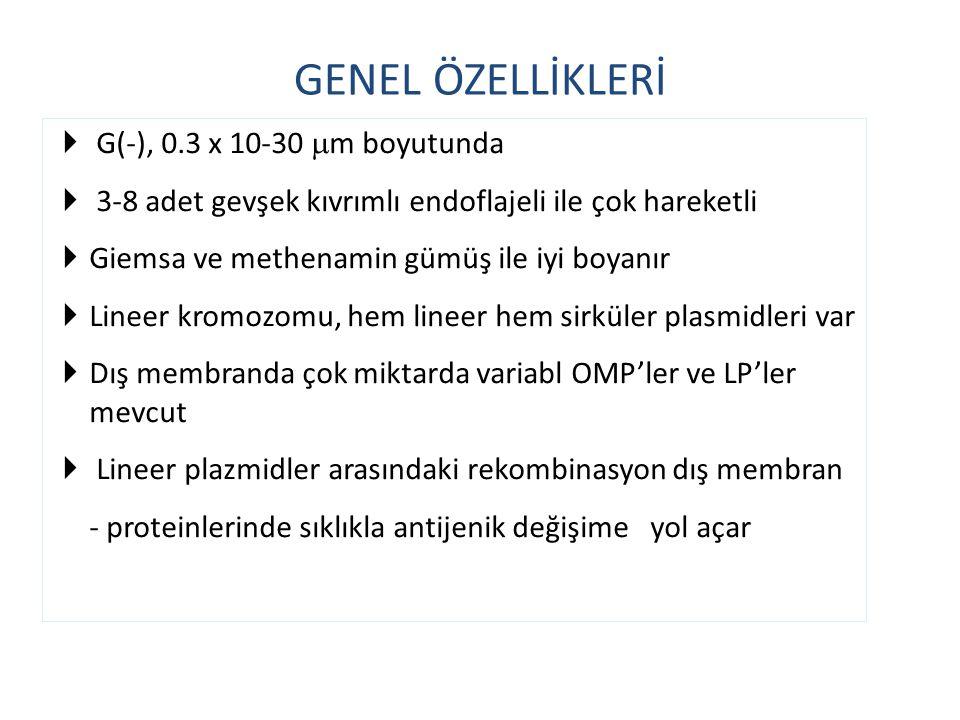 GENEL ÖZELLİKLERİ G(-), 0.3 x 10-30 m boyutunda