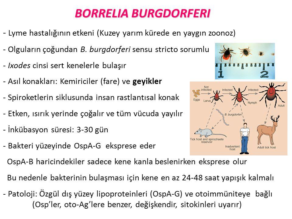 BORRELIA BURGDORFERI - Lyme hastalığının etkeni (Kuzey yarım kürede en yaygın zoonoz) Olguların çoğundan B. burgdorferi sensu stricto sorumlu.