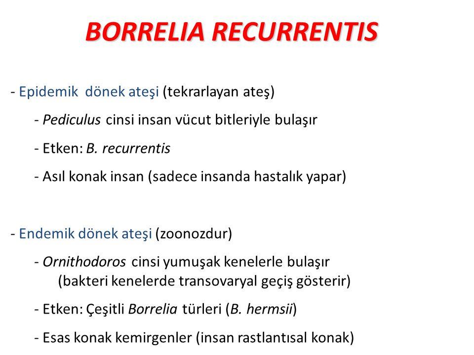 BORRELIA RECURRENTIS - Epidemik dönek ateşi (tekrarlayan ateş)