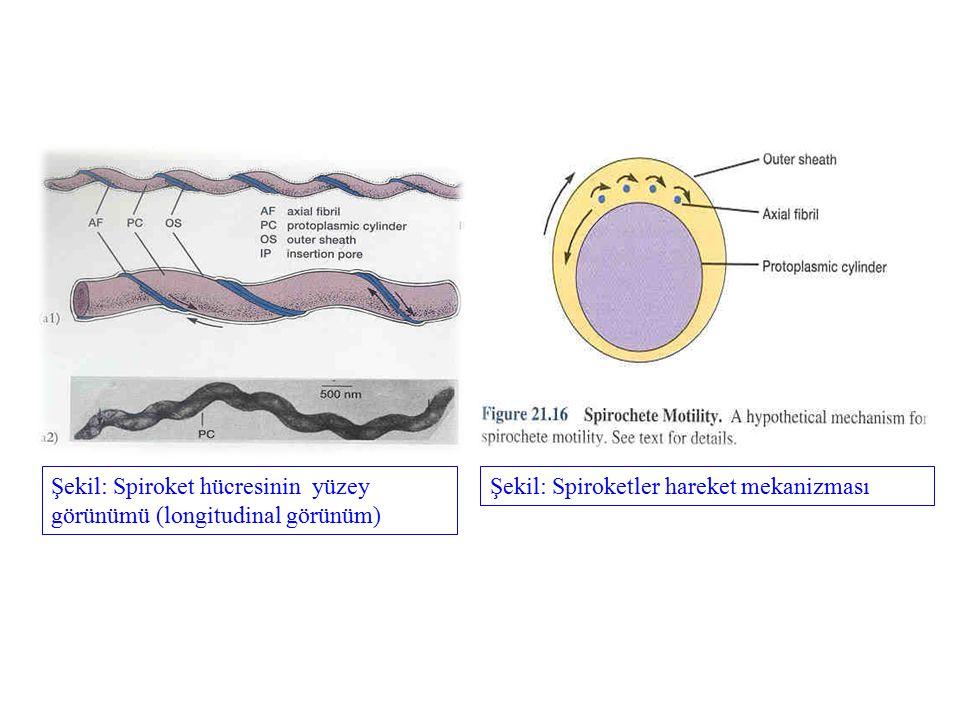 Şekil: Spiroket hücresinin yüzey görünümü (longitudinal görünüm)