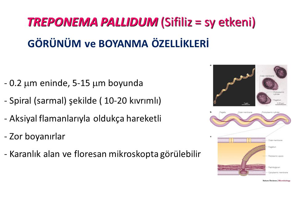 TREPONEMA PALLIDUM (Sifiliz = sy etkeni)