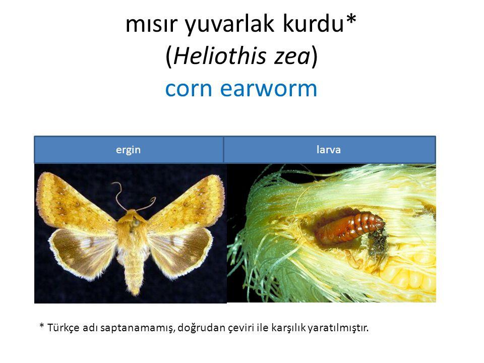 mısır yuvarlak kurdu* (Heliothis zea) corn earworm