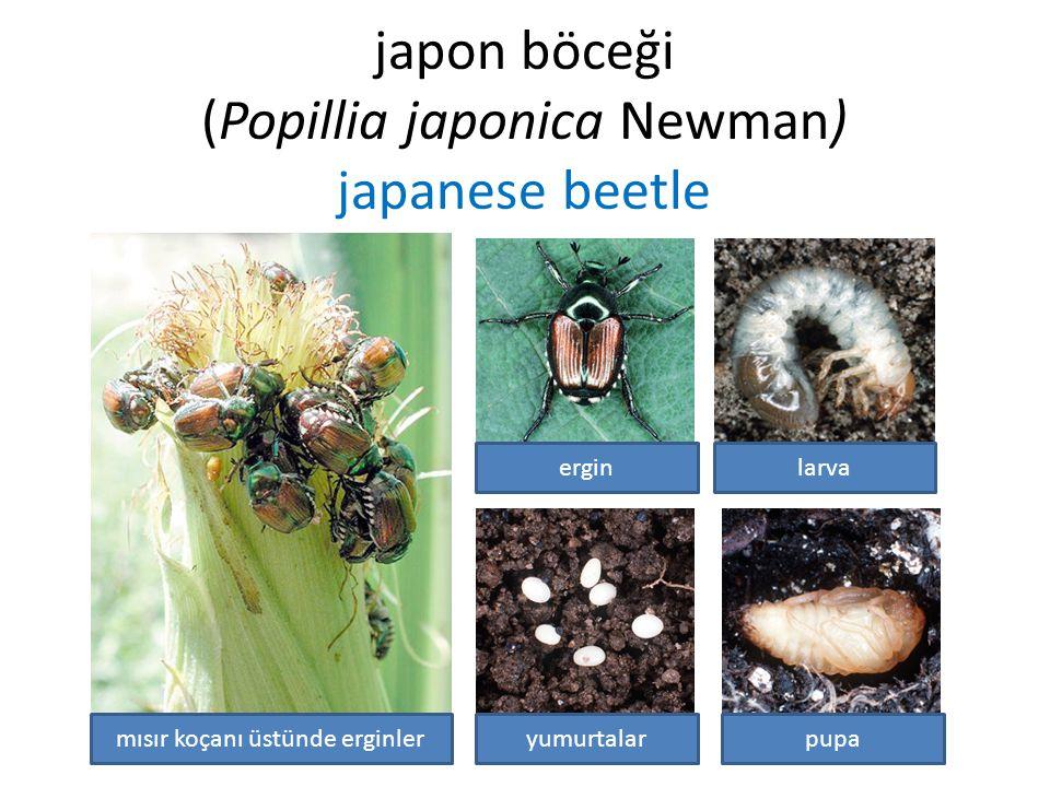 japon böceği (Popillia japonica Newman) japanese beetle