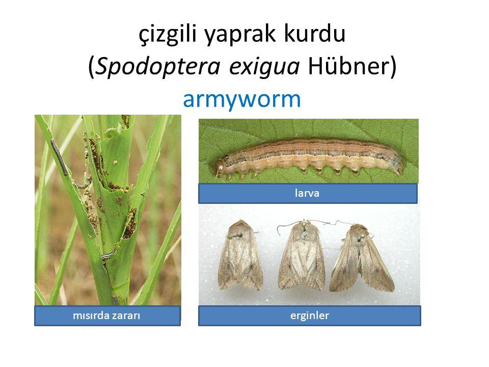 çizgili yaprak kurdu (Spodoptera exigua Hübner) armyworm