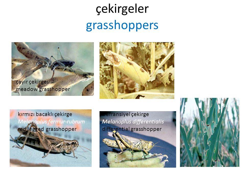 çekirgeler grasshoppers