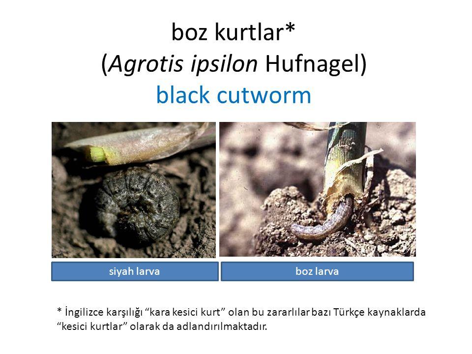 boz kurtlar* (Agrotis ipsilon Hufnagel) black cutworm