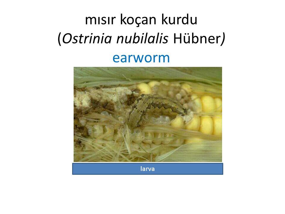 mısır koçan kurdu (Ostrinia nubilalis Hübner) earworm