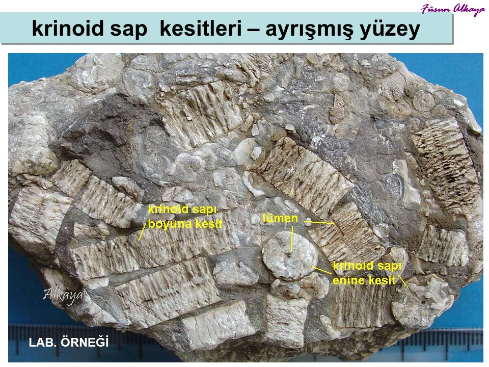 krinoid sap kesitleri – ayrışmış yüzey