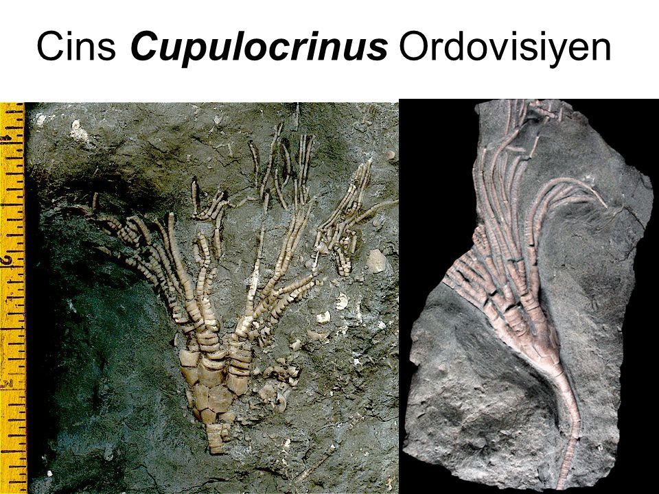 Cins Cupulocrinus Ordovisiyen