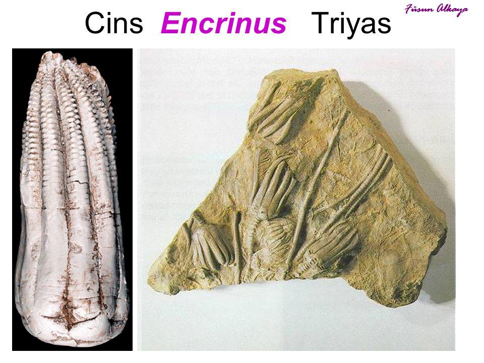 Cins Encrinus Triyas Füsun Alkaya