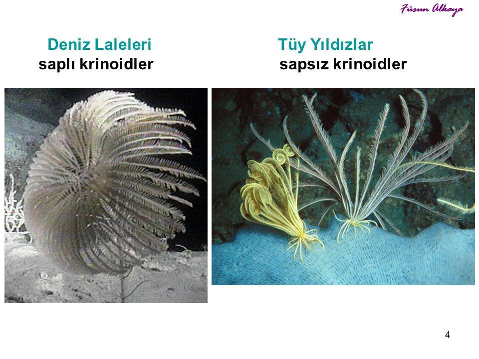 Deniz Laleleri Tüy Yıldızlar saplı krinoidler sapsız krinoidler