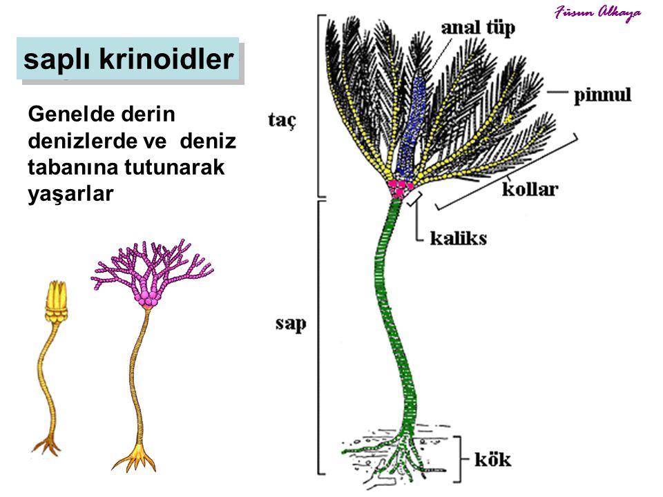 Füsun Alkaya saplı krinoidler Genelde derin denizlerde ve deniz tabanına tutunarak yaşarlar