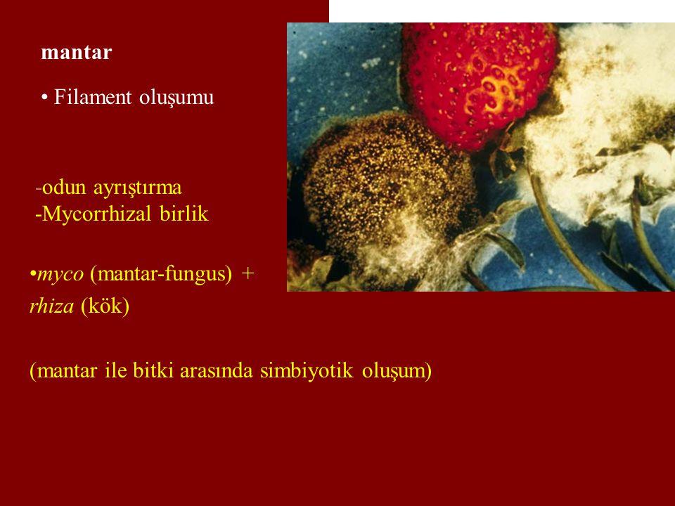 mantar Filament oluşumu. -odun ayrıştırma. -Mycorrhizal birlik. myco (mantar-fungus) + rhiza (kök)