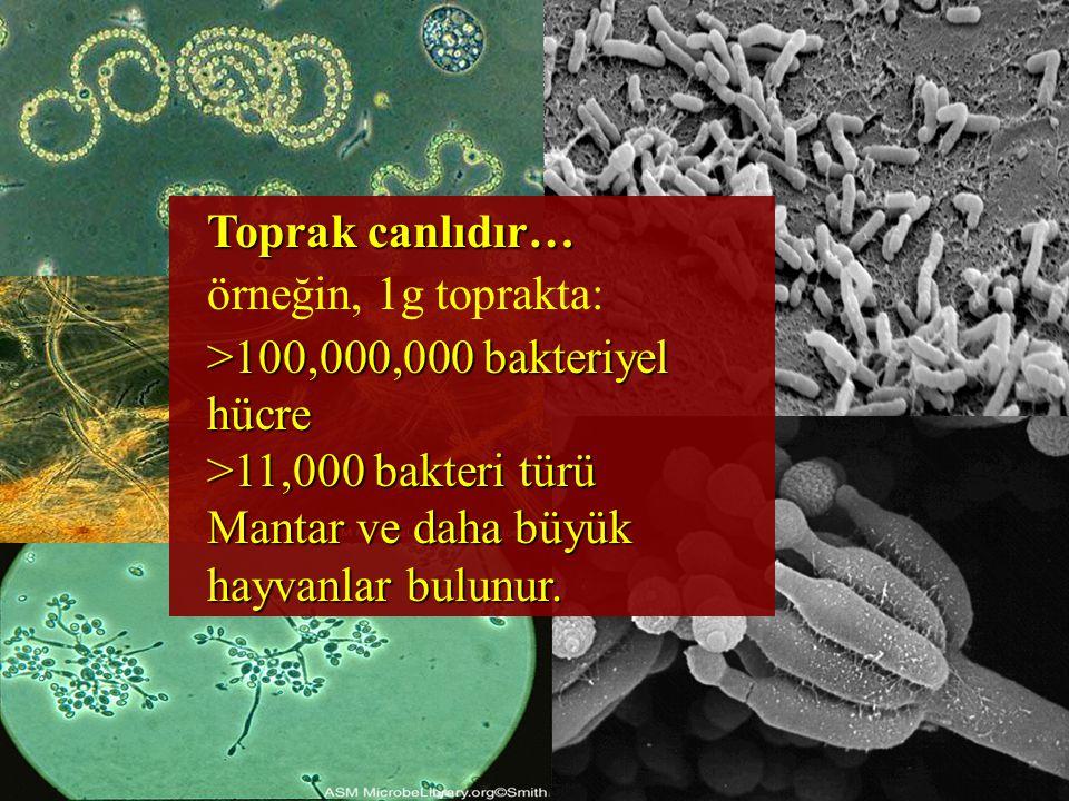 Toprak canlıdır… örneğin, 1g toprakta: >100,000,000 bakteriyel hücre.
