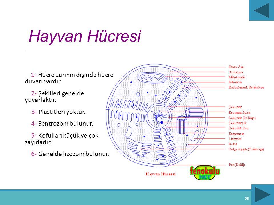 Hayvan Hücresi 2- Şekilleri genelde yuvarlaktır.