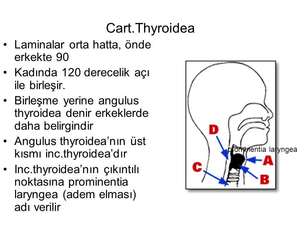 Cart.Thyroidea Laminalar orta hatta, önde erkekte 90