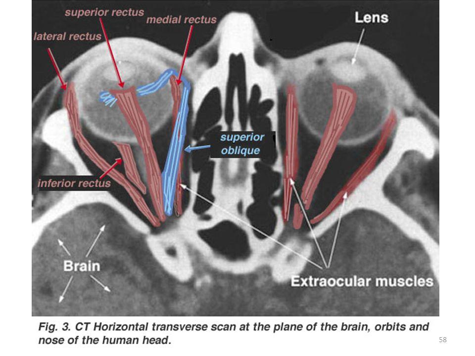Her göz çevresinde bulunan ligament kas ve yüzün uzantıları tarafından göz yuvası içinde tutulur.