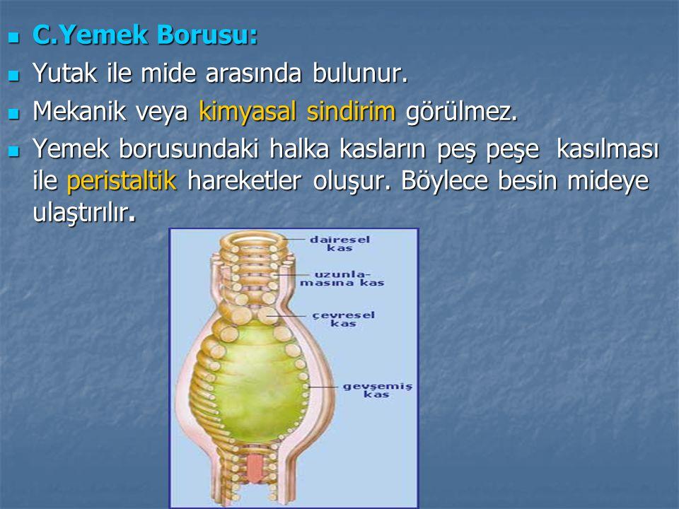 C.Yemek Borusu: Yutak ile mide arasında bulunur. Mekanik veya kimyasal sindirim görülmez.