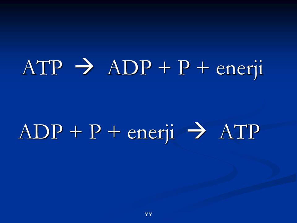 ATP  ADP + P + enerji ADP + P + enerji  ATP Y.Y