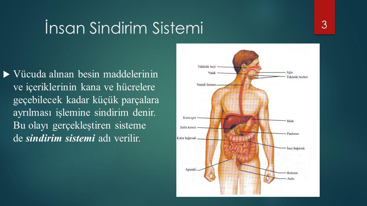 İnsan Sindirim Sistemi