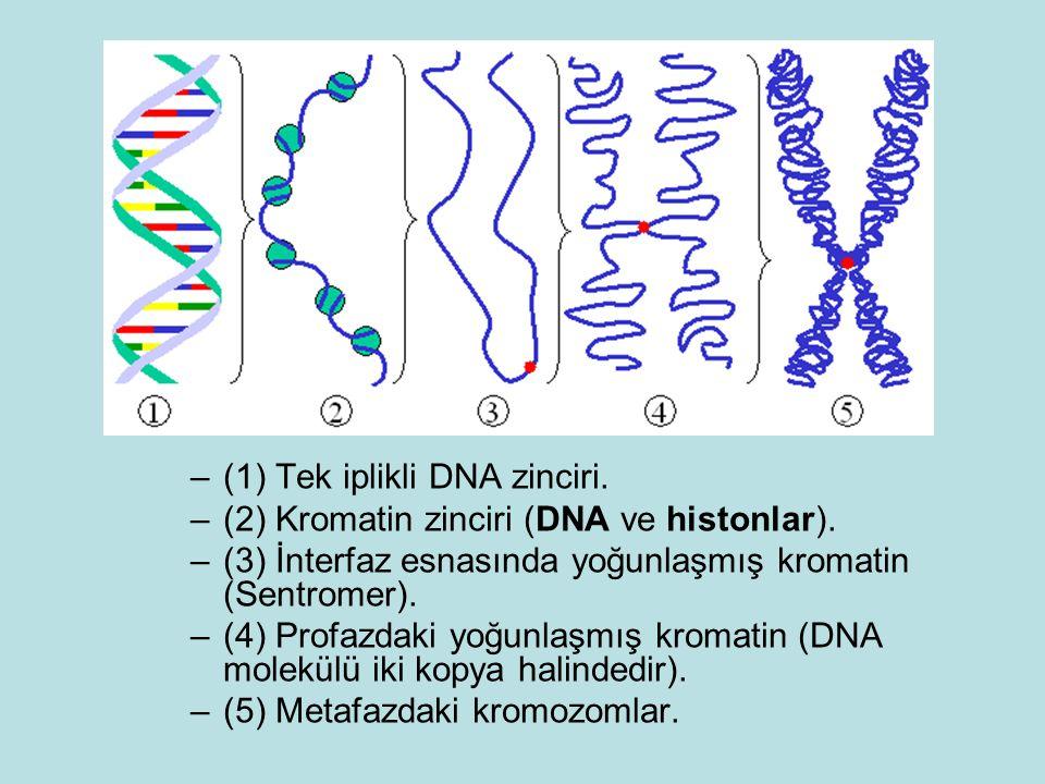 (1) Tek iplikli DNA zinciri.