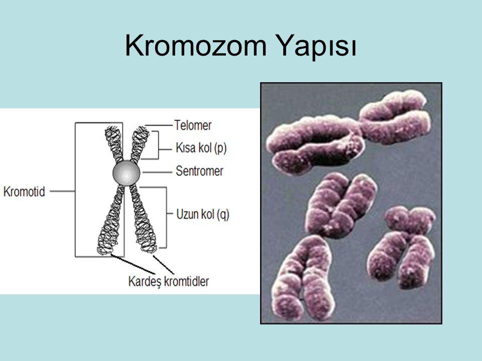 Kromozom Yapısı