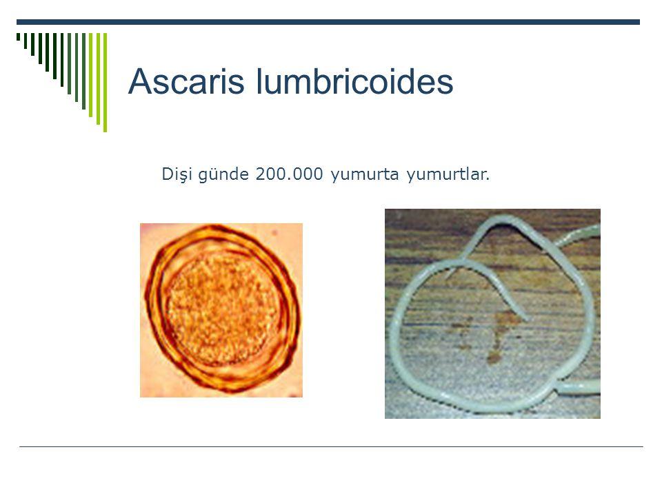 Ascaris lumbricoides Dişi günde 200.000 yumurta yumurtlar.
