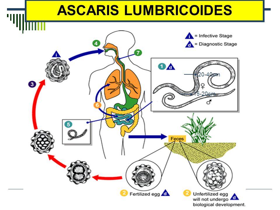 ASCARIS LUMBRICOIDES 20-40cm 15-20cm