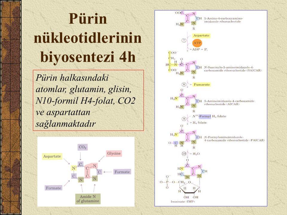 Pürin nükleotidlerinin biyosentezi 4h