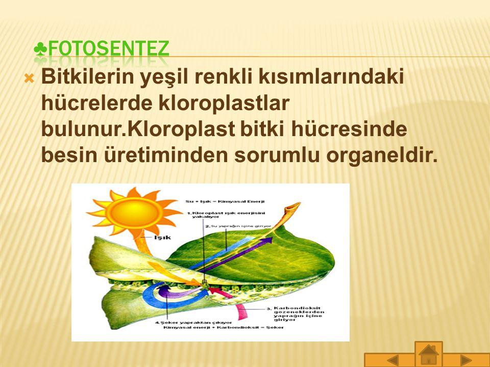 ♣FOTOSENTEZ Bitkilerin yeşil renkli kısımlarındaki hücrelerde kloroplastlar bulunur.Kloroplast bitki hücresinde besin üretiminden sorumlu organeldir.