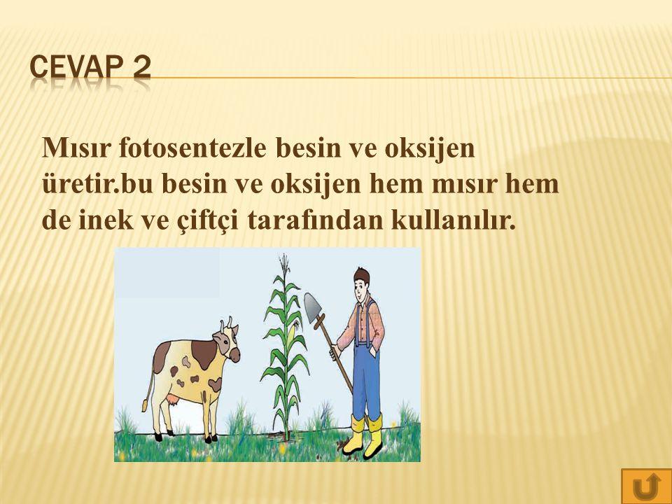 Cevap 2 Mısır fotosentezle besin ve oksijen üretir.bu besin ve oksijen hem mısır hem de inek ve çiftçi tarafından kullanılır.