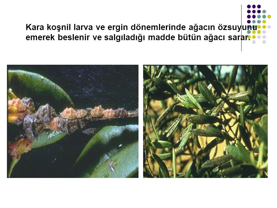 Kara koşnil larva ve ergin dönemlerinde ağacın özsuyunu emerek beslenir ve salgıladığı madde bütün ağacı sarar.
