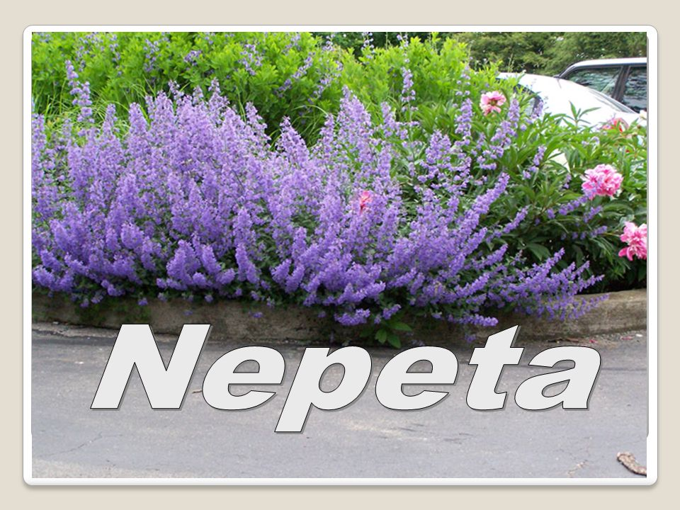 Nepeta