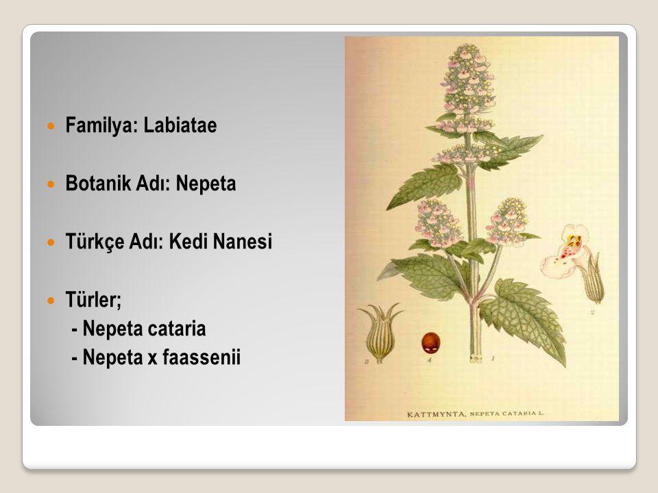 Familya: Labiatae Botanik Adı: Nepeta. Türkçe Adı: Kedi Nanesi.
