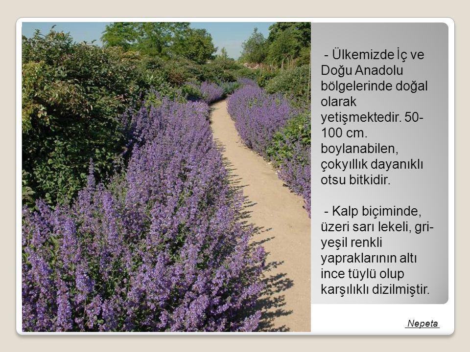 - Ülkemizde İç ve Doğu Anadolu bölgelerinde doğal olarak yetişmektedir