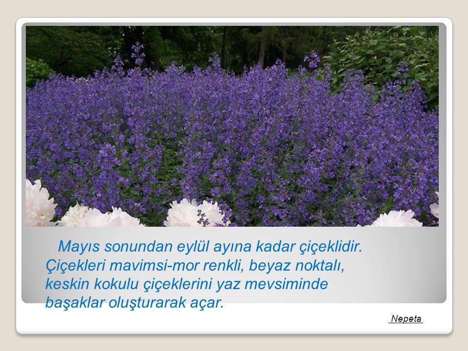 Mayıs sonundan eylül ayına kadar çiçeklidir