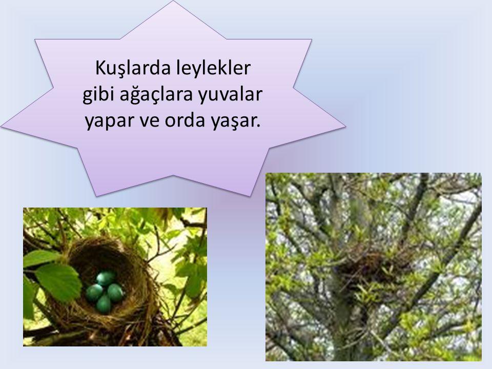 Kuşlarda leylekler gibi ağaçlara yuvalar yapar ve orda yaşar.