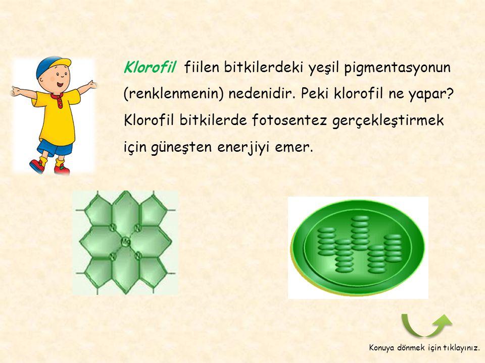 Klorofil fiilen bitkilerdeki yeşil pigmentasyonun (renklenmenin) nedenidir. Peki klorofil ne yapar Klorofil bitkilerde fotosentez gerçekleştirmek için güneşten enerjiyi emer.