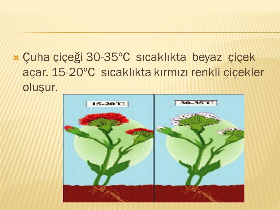 Çuha çiçeği 30-35ºC sıcaklıkta beyaz çiçek açar