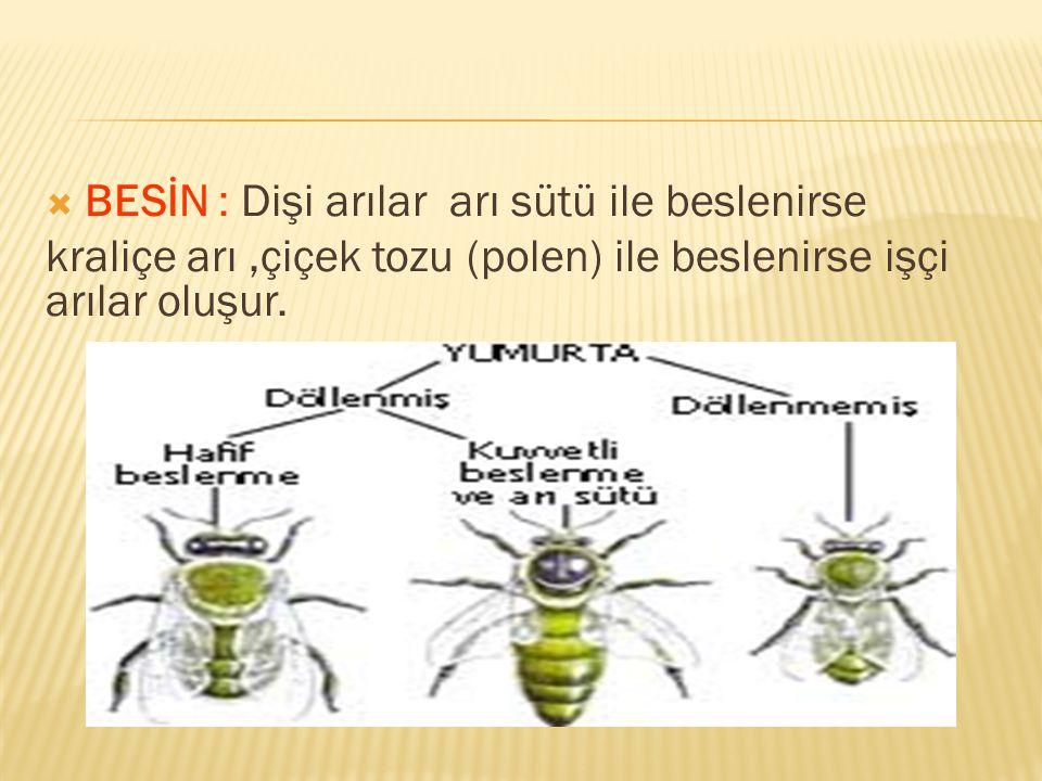 BESİN : Dişi arılar arı sütü ile beslenirse