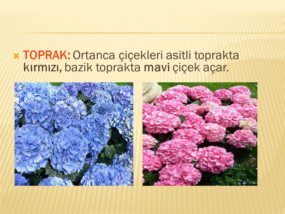 TOPRAK: Ortanca çiçekleri asitli toprakta kırmızı, bazik toprakta mavi çiçek açar.