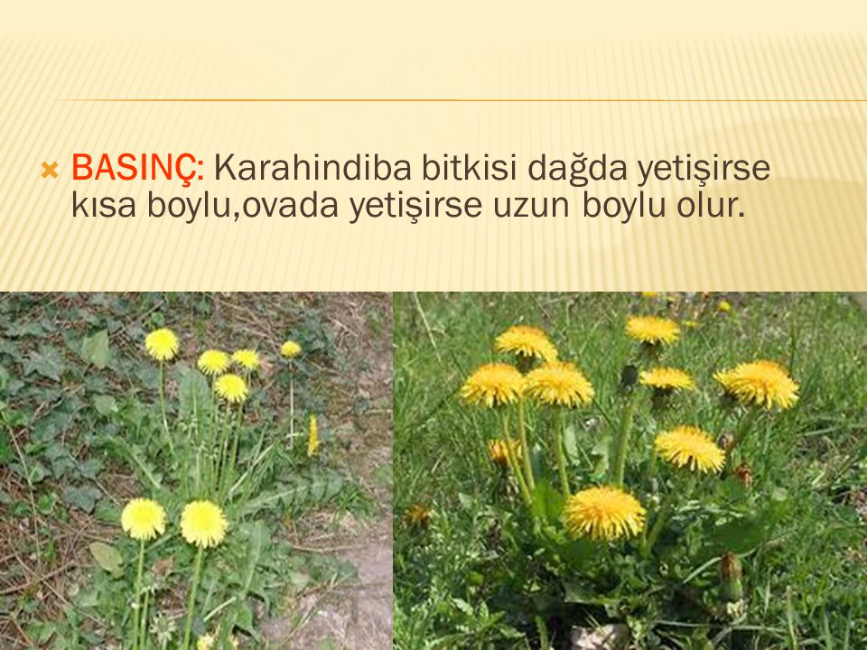 BASINÇ: Karahindiba bitkisi dağda yetişirse kısa boylu,ovada yetişirse uzun boylu olur.