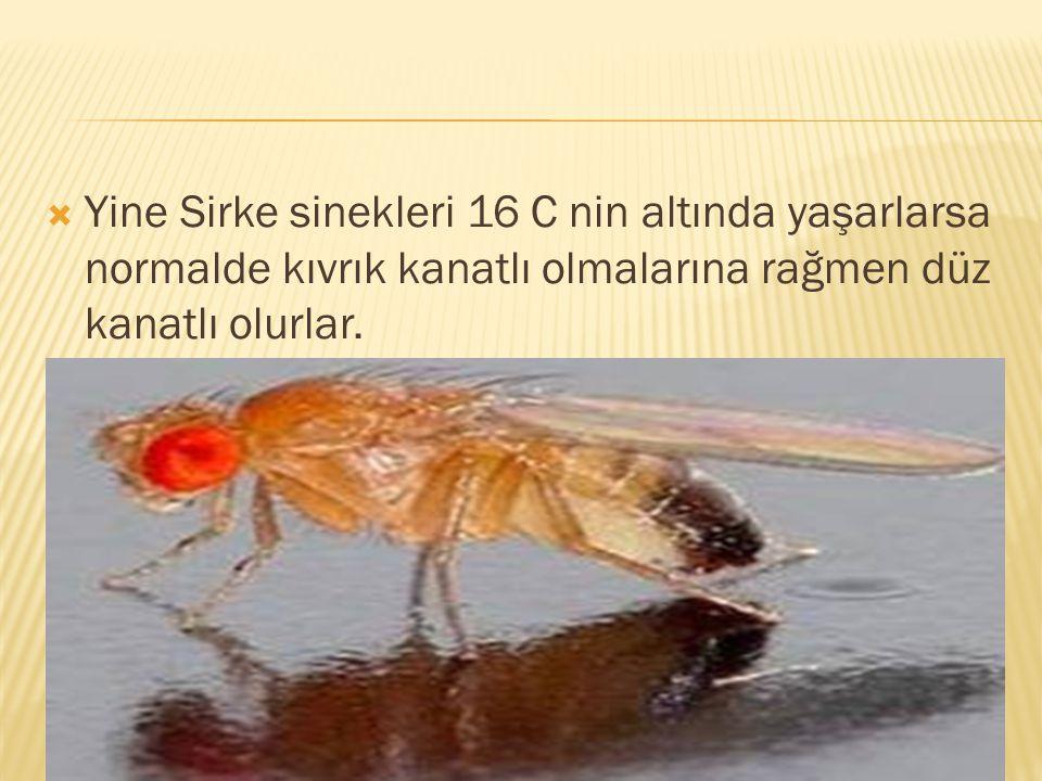 Yine Sirke sinekleri 16 C nin altında yaşarlarsa normalde kıvrık kanatlı olmalarına rağmen düz kanatlı olurlar.