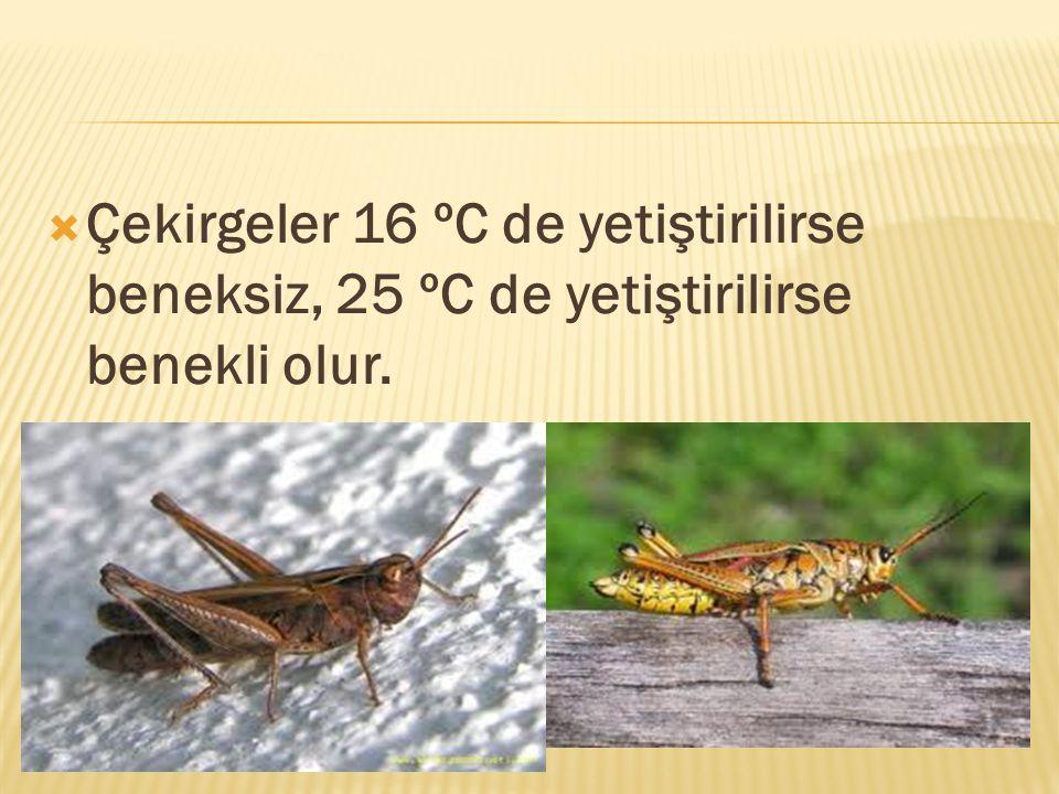 Çekirgeler 16 ºC de yetiştirilirse beneksiz, 25 ºC de yetiştirilirse benekli olur.