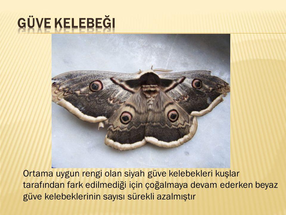 güve kelebeği