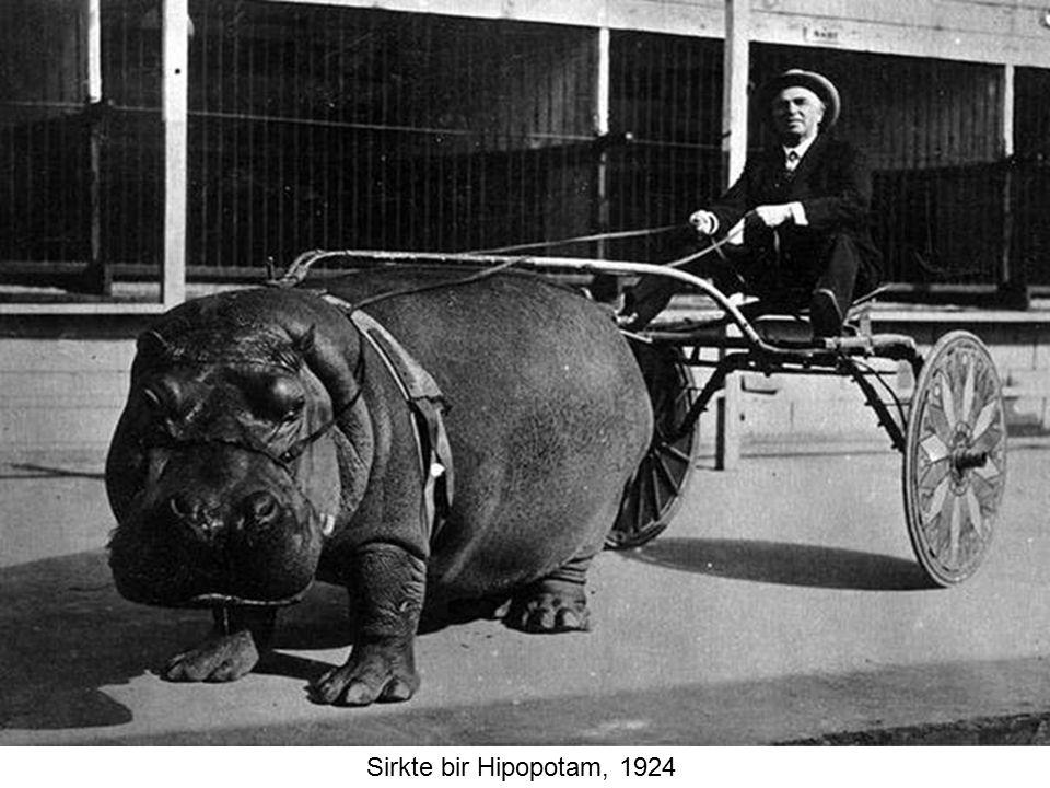 Sirkte bir Hipopotam, 1924