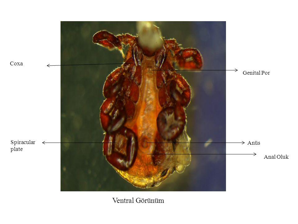 Coxa Genital Por Spiracular plate Anüs Anal Oluk Ventral Görünüm