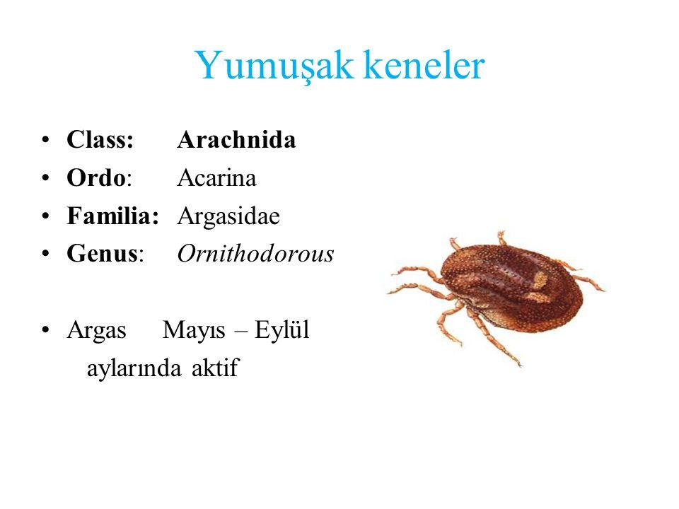 Yumuşak keneler Class: Arachnida Ordo: Acarina Familia: Argasidae