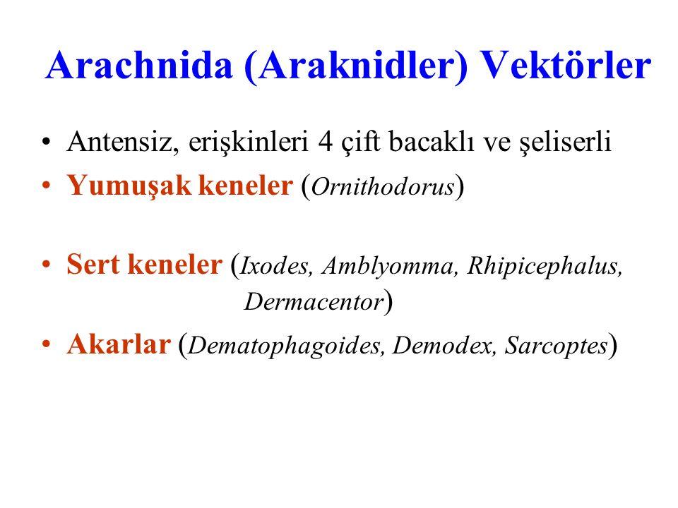 Arachnida (Araknidler) Vektörler