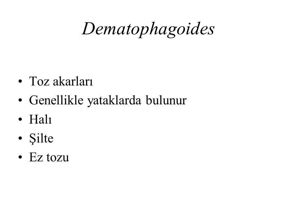Dematophagoides Toz akarları Genellikle yataklarda bulunur Halı Şilte